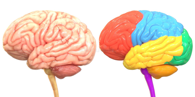 Organo centrale del sistema nervoso umano Brain Anatomy illustrazione vettoriale