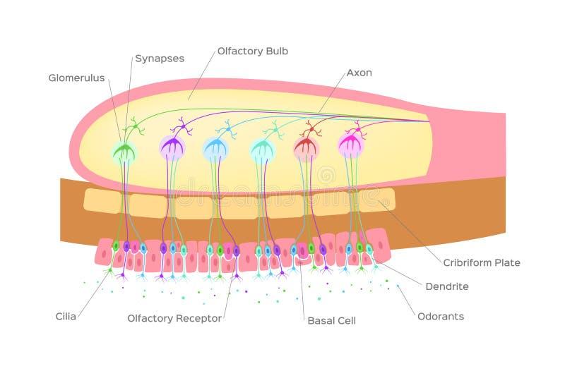 Organo del bulbo olfattivo dell'odore/cellule nervose in naso/vettore illustrazione di stock