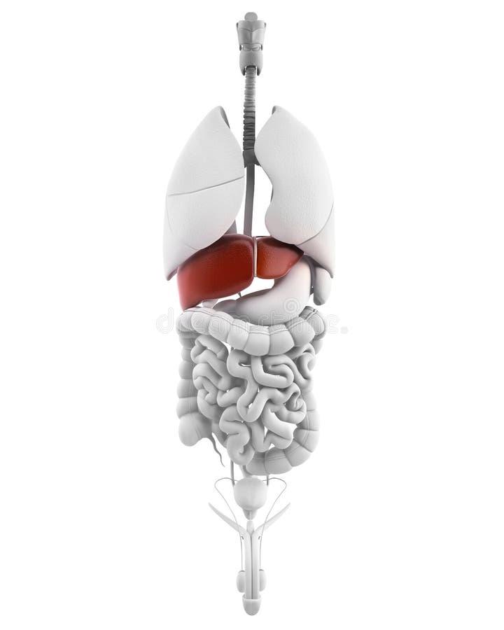 Organo maschio del fegato con la vista interna royalty illustrazione gratis