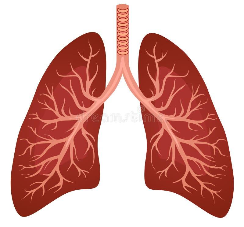Organo umano dei polmoni illustrazione di stock