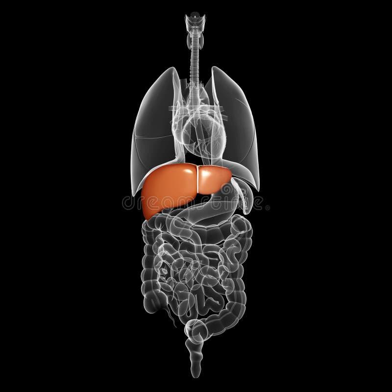 Organo umano del fegato con la vista interna royalty illustrazione gratis