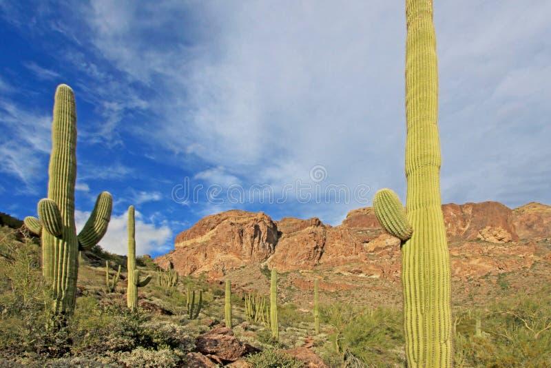 Organowej drymby i Saguaro kaktusy w Organowej drymby Kaktusowym Krajowym zabytku, Arizona, usa fotografia royalty free