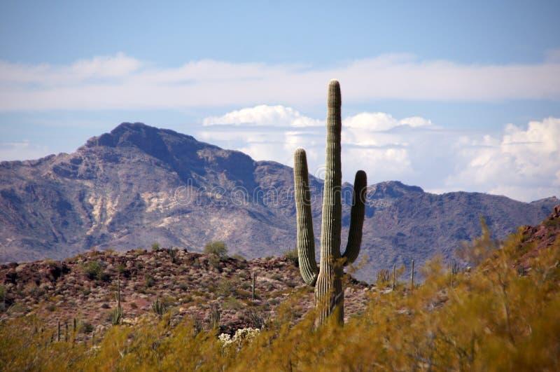 Organowej drymby Kaktusowy Krajowy zabytek, Arizona, usa obraz stock