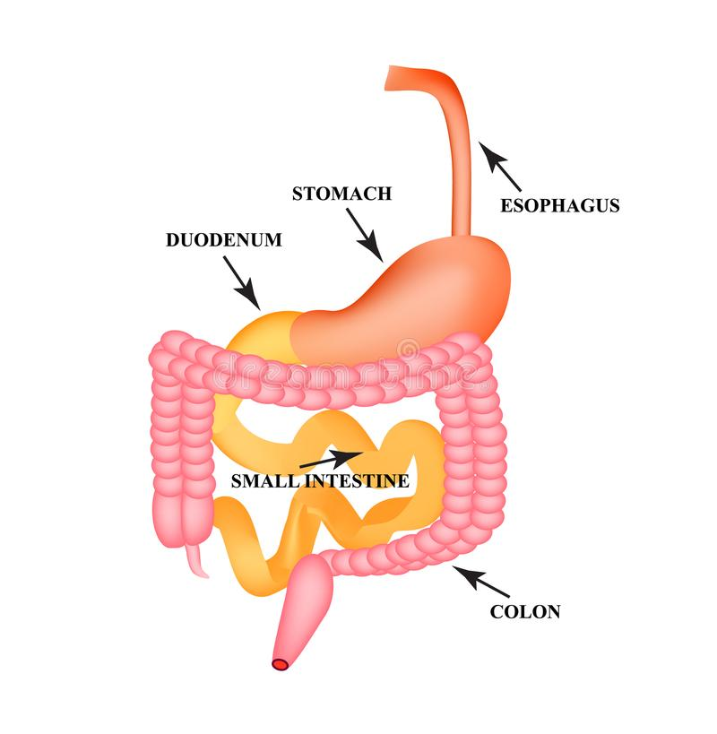 Organs of the gastrointestinal tract. Esophagus, stomach, duodenum, small intestine, colon. Digestion. Infographics. Vector. Organs of the gastrointestinal tract stock illustration