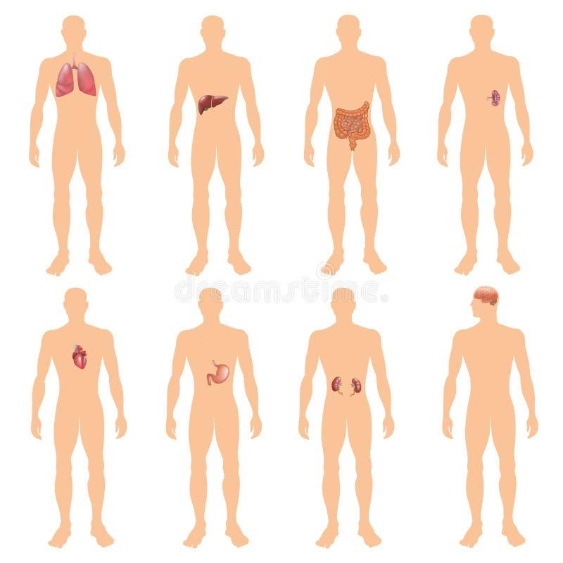 8 Organsystemrealistische Erziehungsanatomiephysiologiefrontrückseitenansicht flashcards Plakat-Vektorillustration des menschlich stock abbildung
