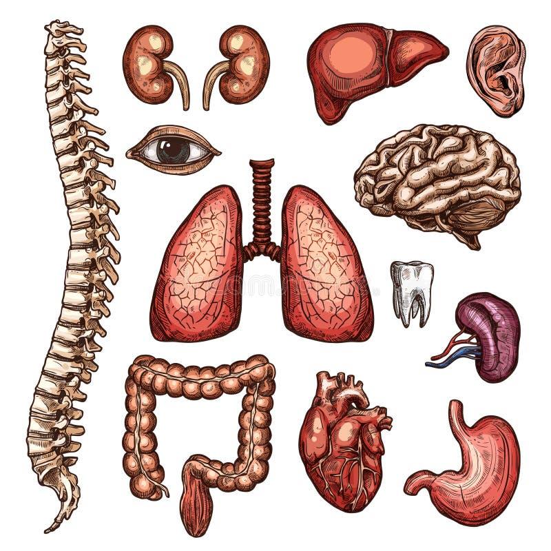 Organu, kości i części ciała nakreślenie ludzka anatomia, ilustracja wektor