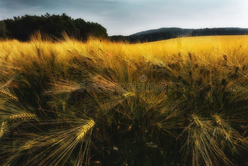 Orge de maturation Grain de maturation dans le domaine Grain sur le champ photo libre de droits