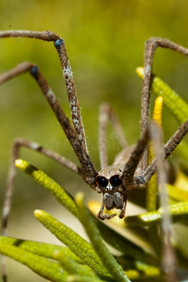 Orge Spider Amongst Rosemary royalty free stock photography