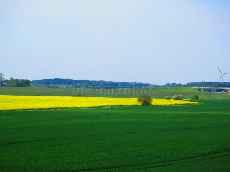 Orge verte et gisements jaunes de graine de colza la journée de printemps ensoleillée photo stock