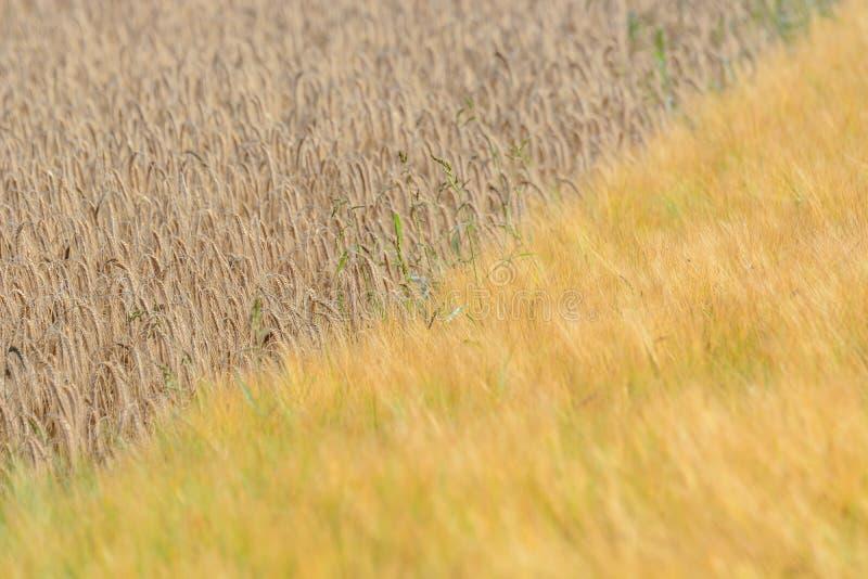 Orges et champ de grains photographie stock