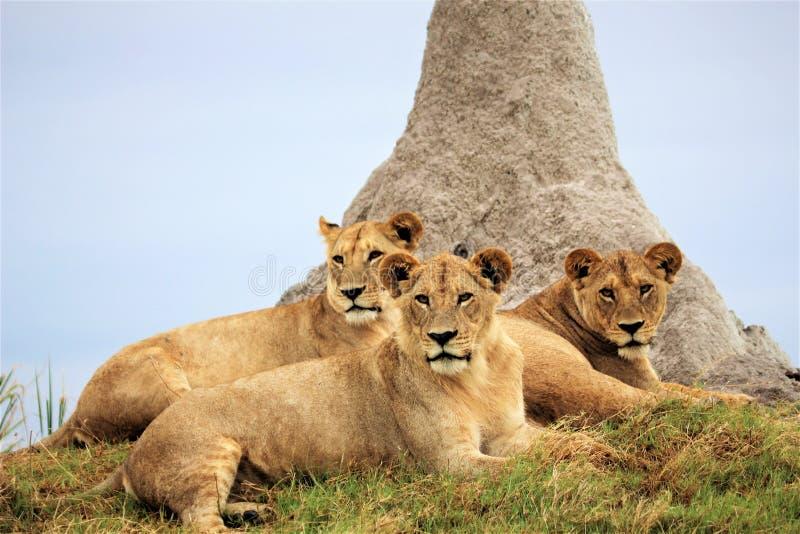 Orgoglio dei cuccioli di leone al delta di Okavango immagini stock libere da diritti