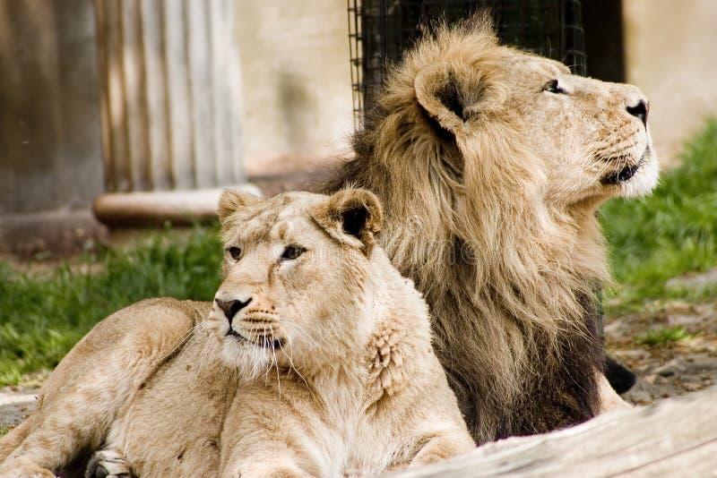 Orgoglio dei leoni immagini stock libere da diritti
