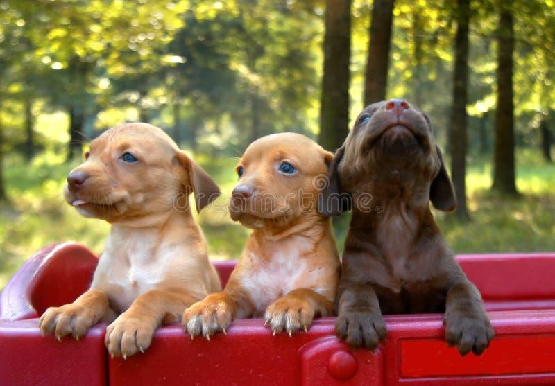 Orgoglio del cucciolo fotografie stock