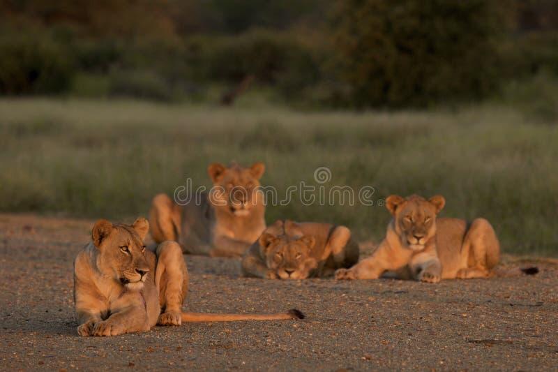 Orgoglio del leone fotografia stock