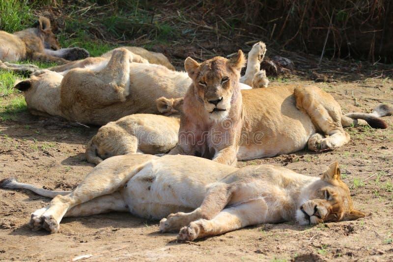 Orgoglio del leone nel parco nazionale di Kruger immagini stock