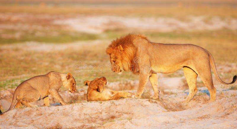 Orgoglio del leone (panthera leo) fotografia stock