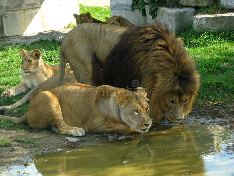 Orgulho africano do leão que bebe no furo de água fotografia de stock