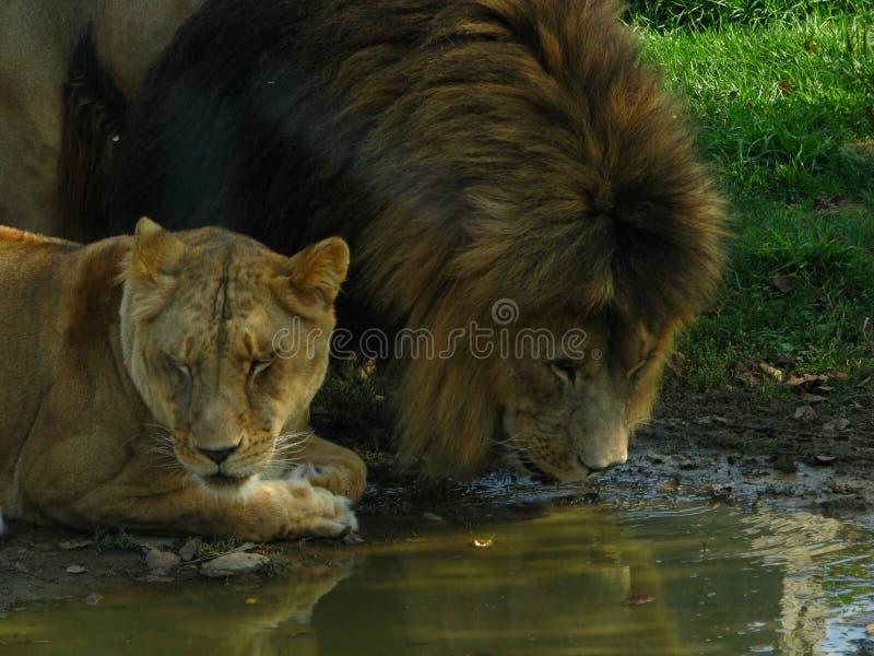 Orgulho africano do leão que bebe no furo de água fotos de stock