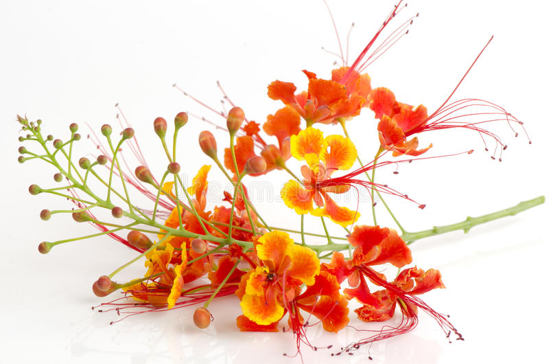 Orgulho de Barbados, flor de pavão, no fundo branco fotos de stock royalty free