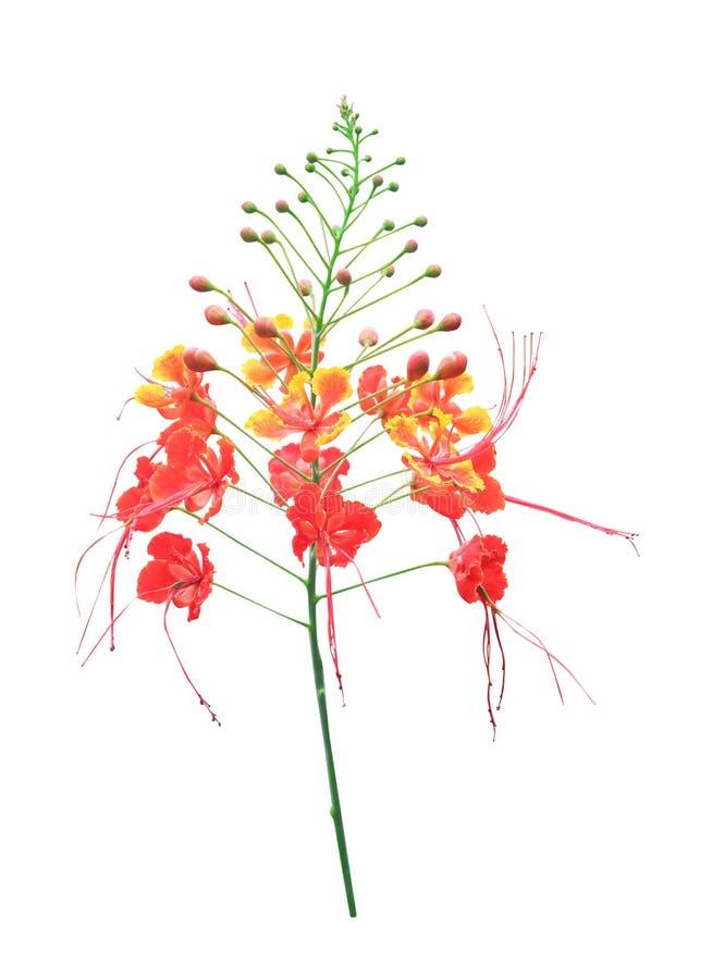 Orgulho de Barbados ou crista do pavão, florescência doce colorida dos testes padrões da cerca da flor da natureza isolada no fun fotos de stock royalty free