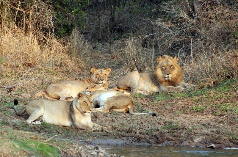 Orgulho do leão fotografia de stock