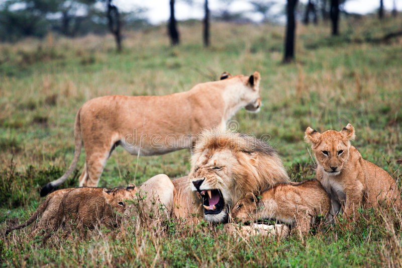 Orgulho do leão fotos de stock