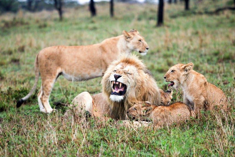 Orgulho do leão fotos de stock royalty free