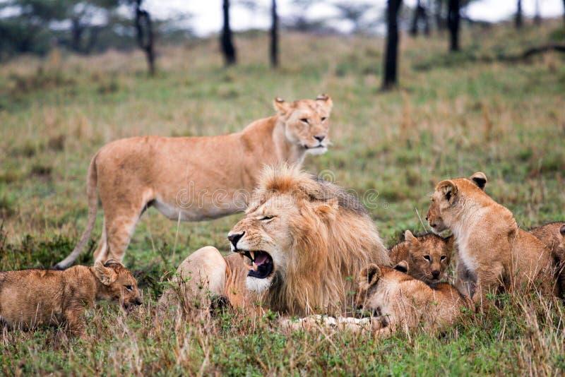 Orgulho do leão foto de stock royalty free