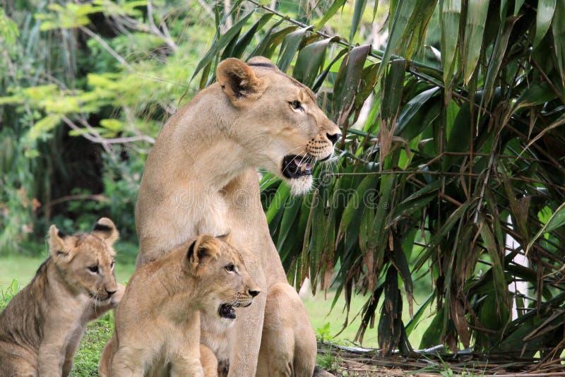 Orgulho do leão fotografia de stock royalty free