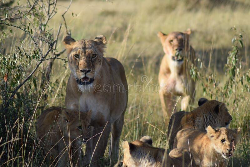 Orgulho do leão foto de stock