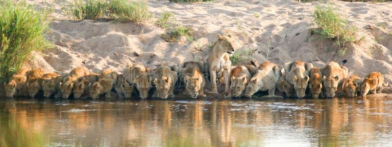 Orgulho do leão que bebe no parque nacional África do Sul de Kruger imagem de stock