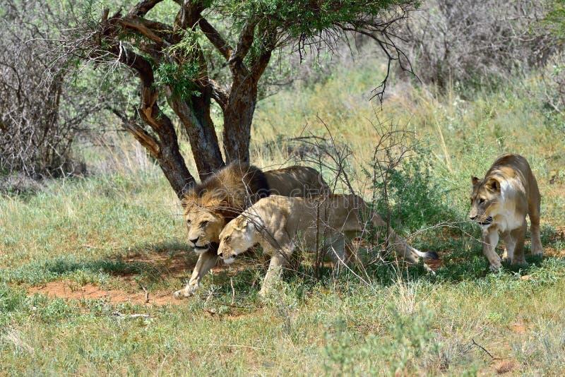 Orgulho dos leões, África fotografia de stock royalty free