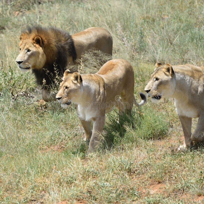 Orgulho dos leões, África imagem de stock royalty free