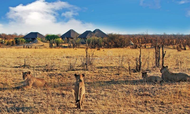 Orgulho dos leões no savana africano com um acampamento africano rústico do safari na distância fotos de stock