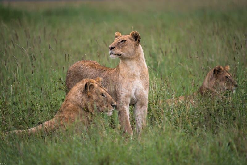 Orgulho novo dos leões (Serengeti, Tanzânia) fotografia de stock royalty free