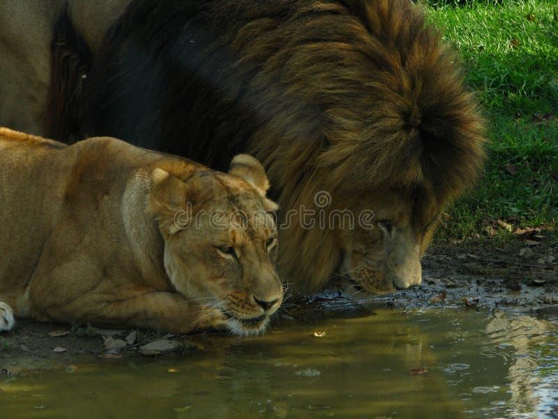 Orgullo africano del león que bebe en el agujero de agua fotos de archivo