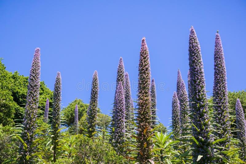Orgullo de la flor de Candicans del Echium de Madeira, Marin Headlands State Park, San Francisco Bay, California fotos de archivo libres de regalías