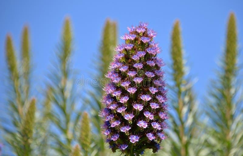 Orgullo de las flores de Madeira foto de archivo libre de regalías