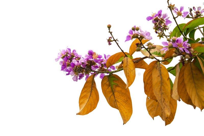 Orgullo de las flores del speciosa del Lagerstroemia de la India en el fondo blanco fotografía de archivo