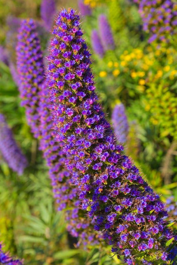 Orgullo de los candicans del Echium de las flores de la púrpura de Madeira fotos de archivo libres de regalías