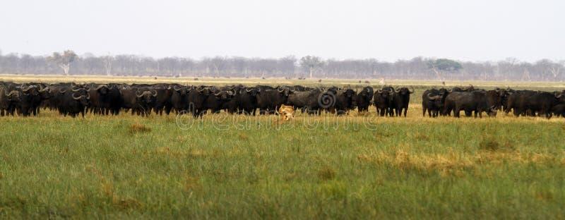 Orgullo de los leones que cazan el búfalo fotos de archivo libres de regalías