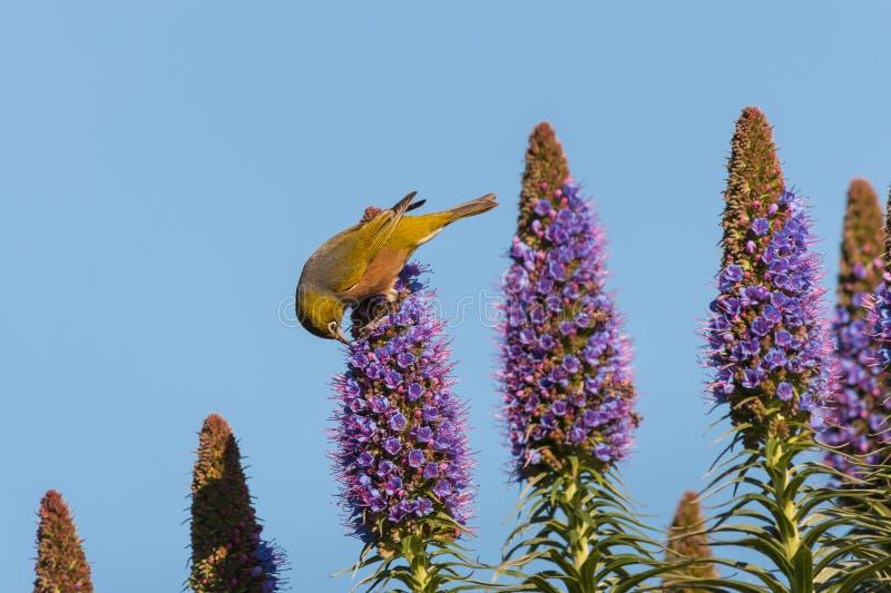 Orgullo de polinización del pájaro de las flores de Madeira fotos de archivo