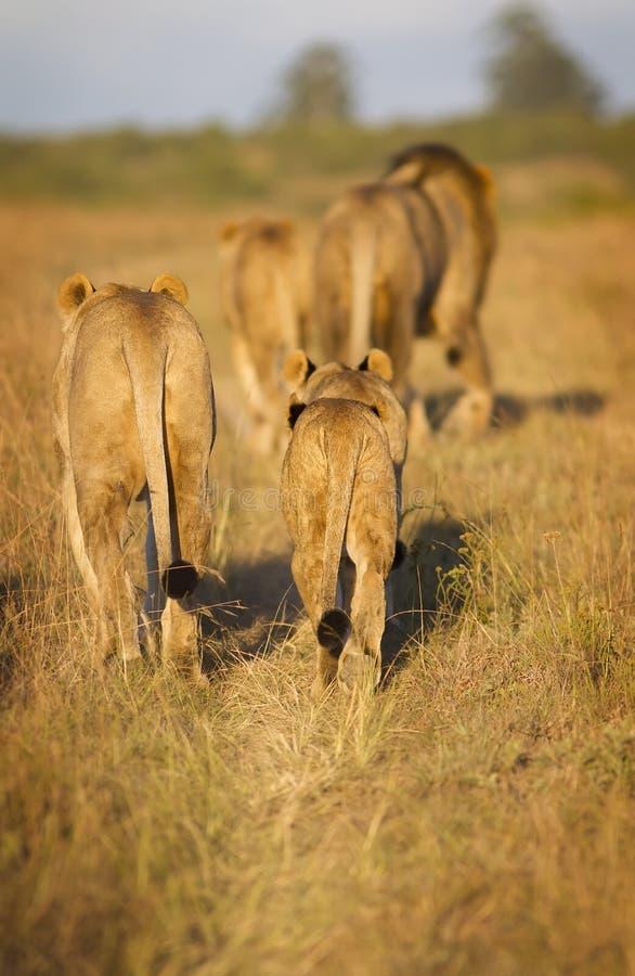 Orgullo del león foto de archivo libre de regalías