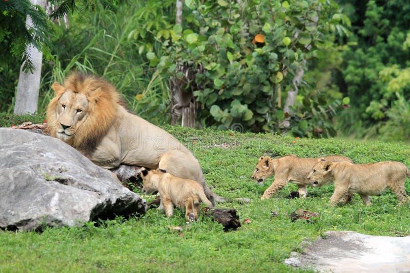 Orgullo del león fotos de archivo