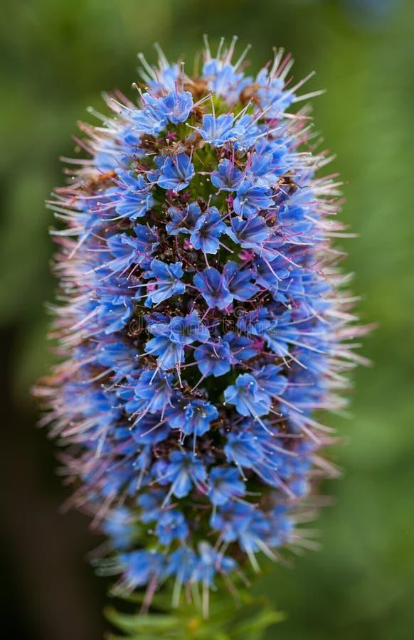 Orgullo púrpura de la foto del primer de la flor de Madeira con los estambres imágenes de archivo libres de regalías