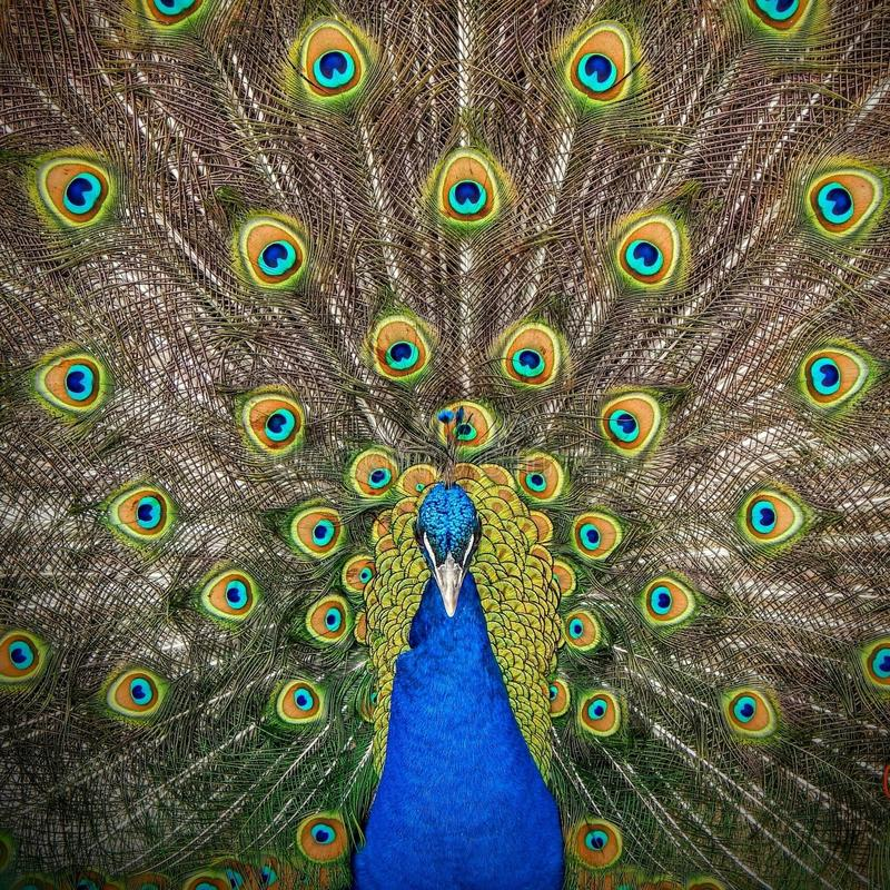Orgulloso como pavo real fotografía de archivo libre de regalías