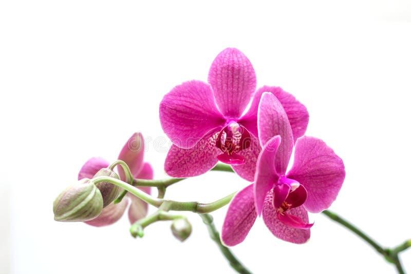 Orhid royalty-vrije stock foto
