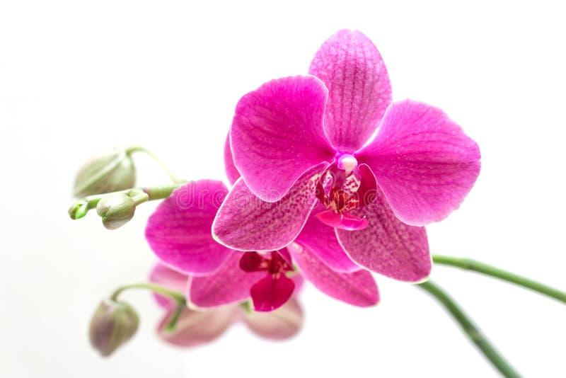 Orhid royalty-vrije stock afbeelding