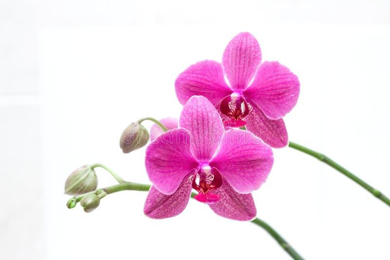 Orhid royalty-vrije stock foto's