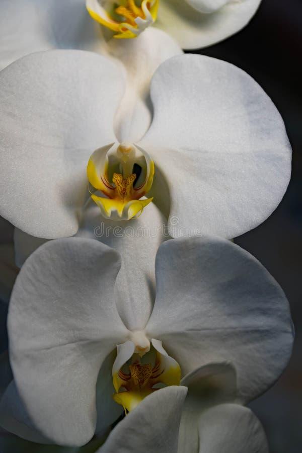 Orhidbloemen op zwarte elegante exotisch van de achtergrondkoningin verse plons stock afbeelding